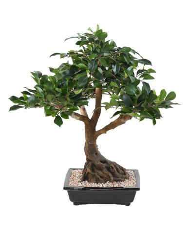 Bonsai Ficus, ca. 58cm