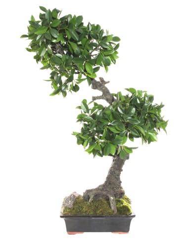 Ficus bonsai Deluxe - im Topf, ca. 80cm