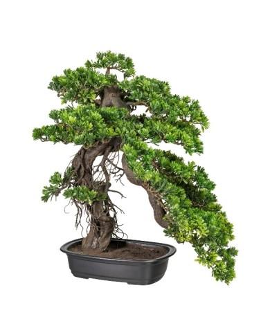 Bonsai Podocarpus, ca 65cm, grün