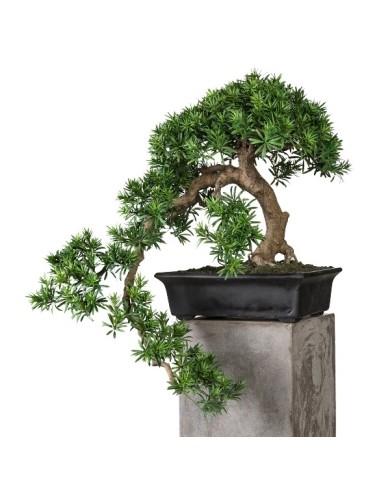 Bonsai Podocarpus Kengai, ca 70cm