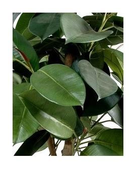Gummibaum- Ficus Elastica
