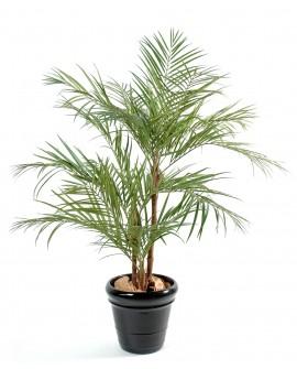 Arec palmiers