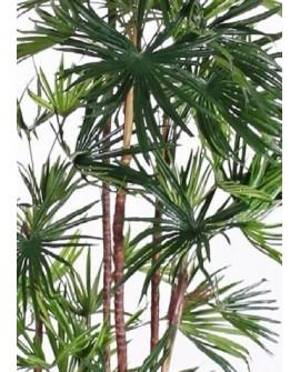Palmiers à éventails